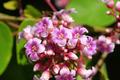 star apple flower - PhotoDune Item for Sale