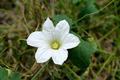 white ivy Gourd flower. - PhotoDune Item for Sale