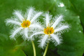 Small white water lily flower. - PhotoDune Item for Sale