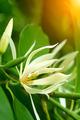 White Champaka - PhotoDune Item for Sale