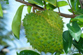 Soursop, Prickly Custard Apple. - PhotoDune Item for Sale