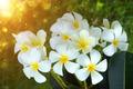 frangipani flower in the morning. - PhotoDune Item for Sale
