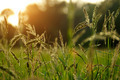 wild grass in sunset counterlight - PhotoDune Item for Sale