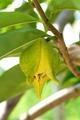 Flower of soursop or prickly custard apple or durian belanda or - PhotoDune Item for Sale