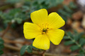 Yellow flowers on the beach. (Tribulus terrestris Linn.) - PhotoDune Item for Sale