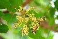 Antidesma thwaitesianum  on the tree. - PhotoDune Item for Sale