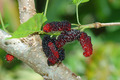 Red Mulberry with leaf on tree - PhotoDune Item for Sale