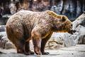 beautiful and furry brown bear, mammal - PhotoDune Item for Sale