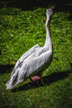 pelican resting in the sun with a group of flamingos - PhotoDune Item for Sale