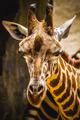 funny beautiful giraffe in a zoo park - PhotoDune Item for Sale