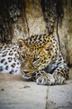 beautiful and powerful leopard resting in the sun - PhotoDune Item for Sale