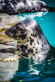 aquatic, seal resting in the sun in the water - PhotoDune Item for Sale
