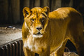 lioness in a zoo park - PhotoDune Item for Sale