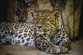 panthera, beautiful and powerful leopard resting in the sun - PhotoDune Item for Sale
