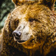 zoo, beautiful and furry brown bear, mammal - PhotoDune Item for Sale