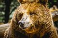zoo, beautiful and furry brown bear, mammal - PhotoDune Item for Sale