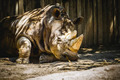 powerful rhino resting in the shade - PhotoDune Item for Sale
