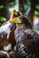 Spanish golden eagle in a medieval fair raptors - PhotoDune Item for Sale