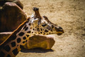 camelopardalis, beautiful giraffe in a zoo park - PhotoDune Item for Sale
