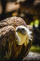 scavenger vulture resting on a branch - PhotoDune Item for Sale