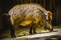 boar following a trail to smell - PhotoDune Item for Sale