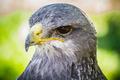 Spanish falcon in a medieval fair raptors - PhotoDune Item for Sale