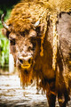 horn, great and mighty bison, america - PhotoDune Item for Sale