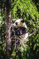 Beautiful breeding panda bear playing in a tree - PhotoDune Item for Sale