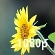 Sunflower in Rain - VideoHive Item for Sale
