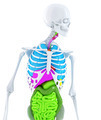 3d skeleton with coloured human organs. Isolated. Contains clipping path - PhotoDune Item for Sale
