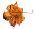 Yellowed autumn maple-leaf on white background - PhotoDune Item for Sale