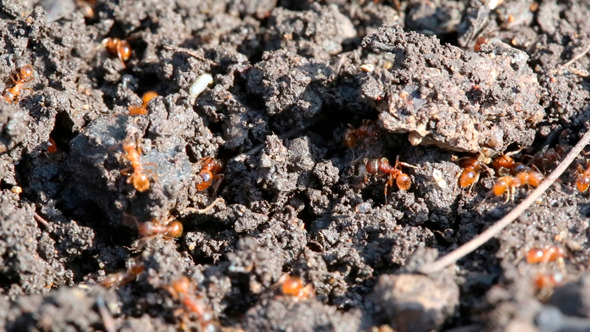 Ants Macro In Forest