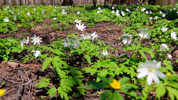 White Flowers Anemones In Forest