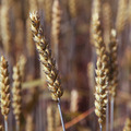 Ears wheat in a field as a background. - PhotoDune Item for Sale