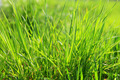 Close up on fresh green grass texture background. - PhotoDune Item for Sale