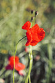 Beautiful red poppies in a field. - PhotoDune Item for Sale