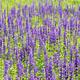 Lavender field - PhotoDune Item for Sale