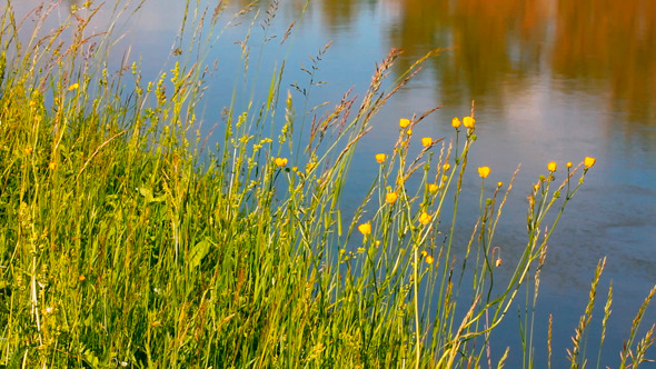 Summer Grass On Riverside