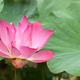 lotus flower - PhotoDune Item for Sale