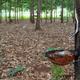 rubber tree plantation - PhotoDune Item for Sale