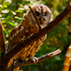 Bird. Owl 1 - VideoHive Item for Sale