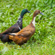 Two different genders ducks on meadow - PhotoDune Item for Sale