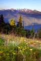 Wildflowers Cover Hillside Olympic Mountains Hurricane Ridge - PhotoDune Item for Sale