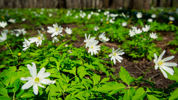 Flowers Anemones In Spring Forest
