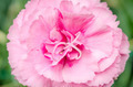 Beautiful pink carnation with green background - PhotoDune Item for Sale