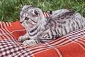 Scottish Fold cat lying - PhotoDune Item for Sale