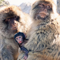 Barbary Macaques - PhotoDune Item for Sale
