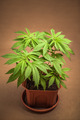 Cannabis plant in flowerpot - PhotoDune Item for Sale