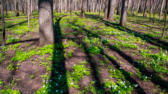 Spring Forest Landscape With White Flowers