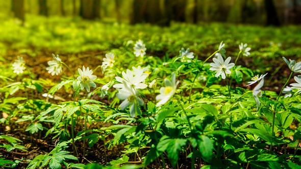 White Flowers Anemones